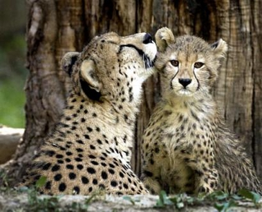 cheetah-and-cub.jpg