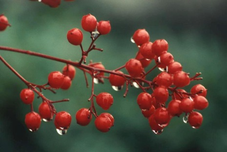 red-berry-branch.jpg