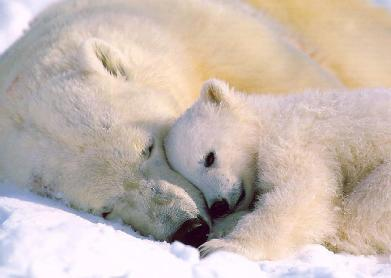 mom-baby-polar-bears.jpg