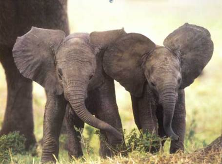 two-baby-elephants.jpg